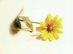 single-flower-1409291